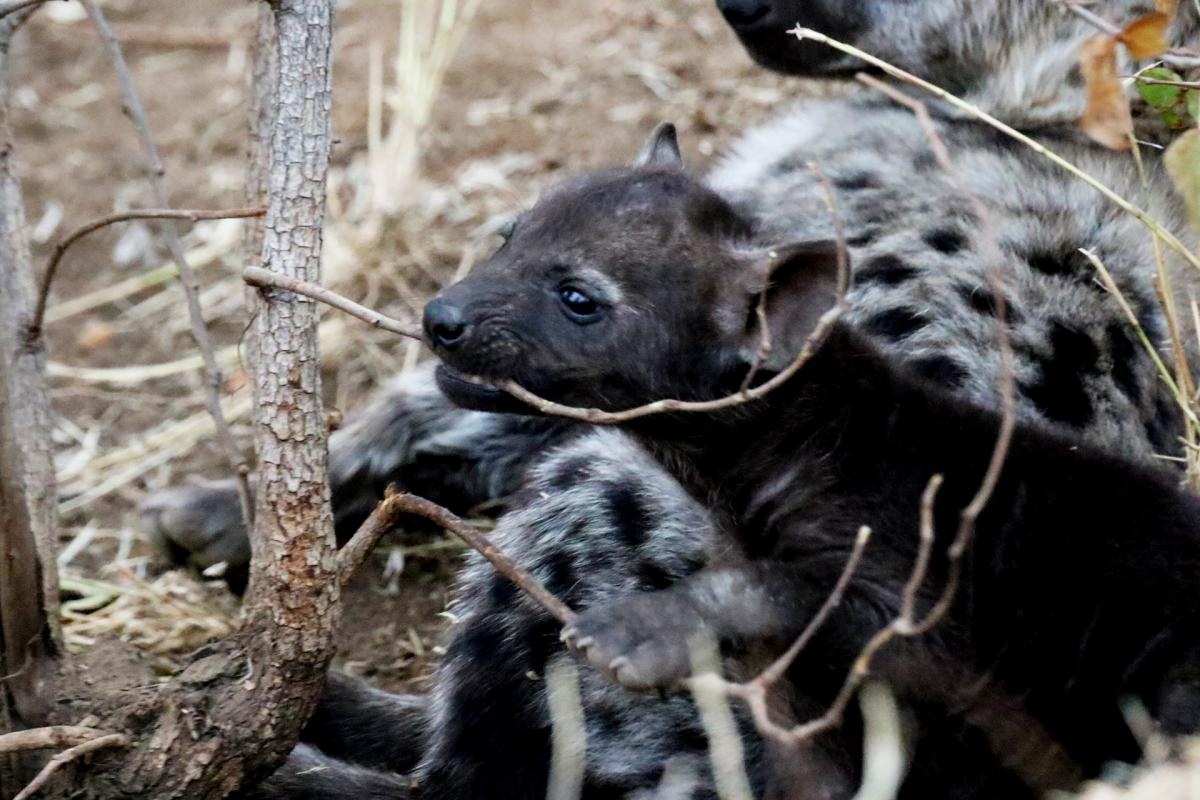 kruger south africa hyena exploingafrica SafariADV wildlife