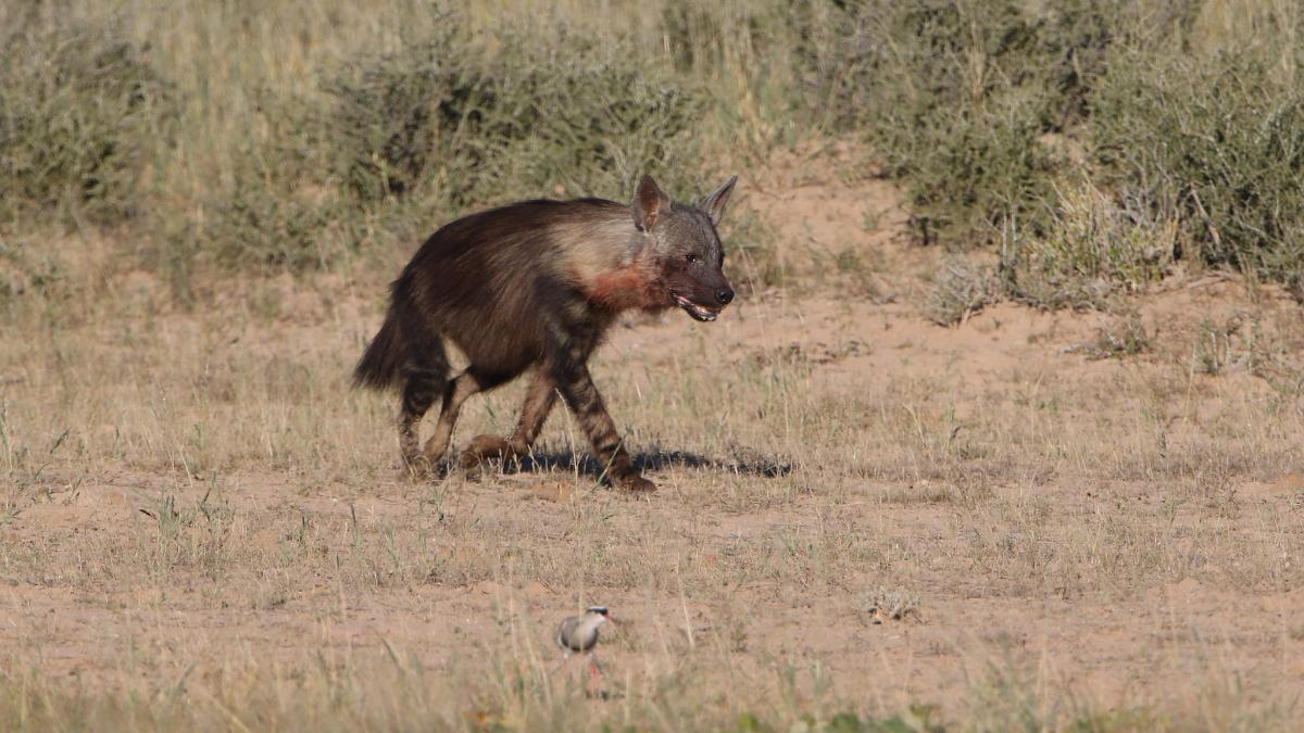 exploringafrica safariadv hyena brown