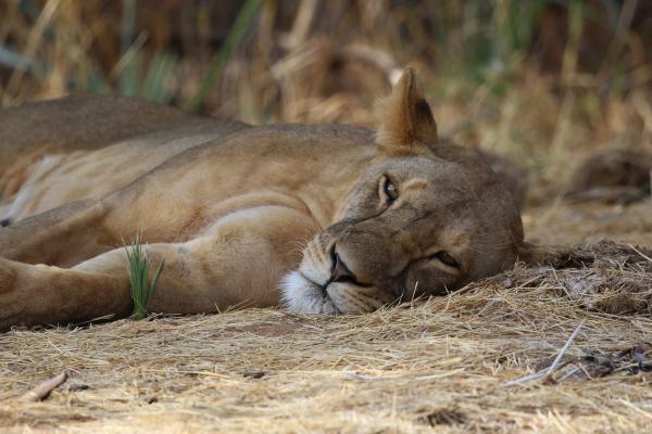 lion leone kenya africa exploringafrica romina facchi safari