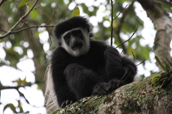 Arusha National Park: Angola White and Black Colobus, Colobus angolesis