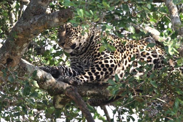 masai mara exploringafrica savannah romina facchi safariadv leopard great migration zebre river