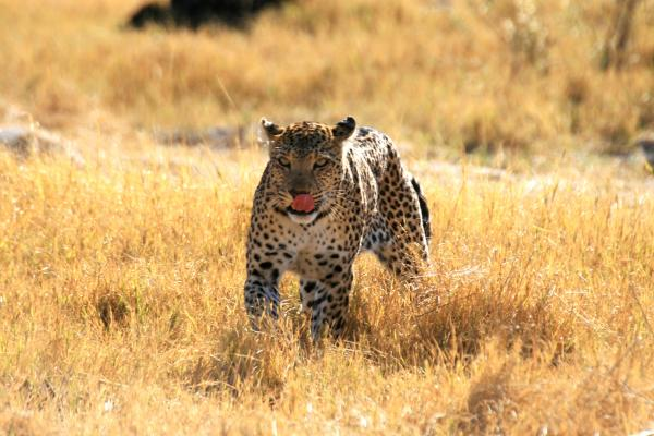 okawango delta exploringafrica safariadv romina facchi leopard travel viaggi