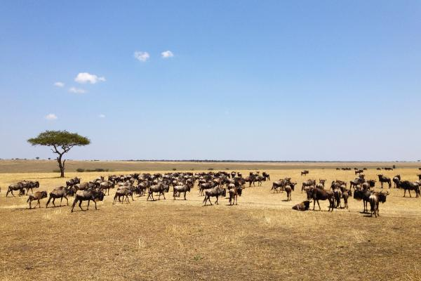 The Great Migration in Serengeti National Park in Tanzania: beautiful landscape with acacia and thousands of wildebeest aka gnus