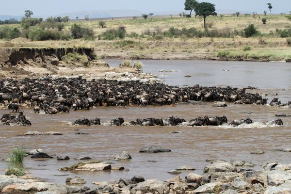 The Great Migration in Serengeti National Park in Tanzania:crossing Mara River, beautiful landscape with acacia and thousands of wildebeest aka gnus