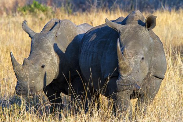 south africa sudafrica exploringafrica safariadv kruger rhino safari travel