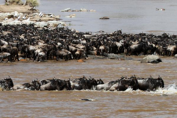 The Great Migration in Serengeti National Park in Tanzania:crossing Mara River, beautiful landscape with thousands of wildebeest aka gnus and zebras