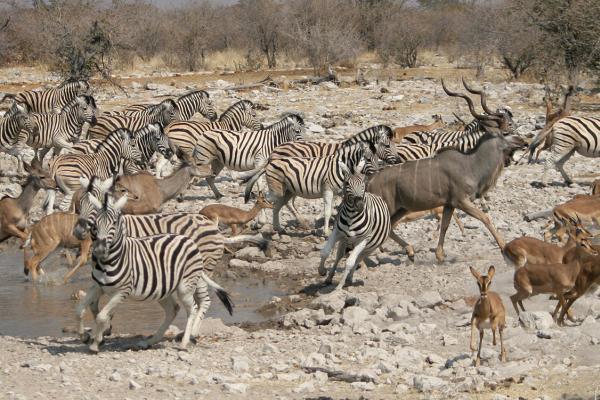 namibia etosha safariadv exploringafrica rominafacchi zebras