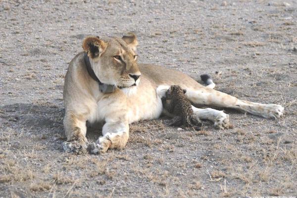 exploringafrica lions leopard cub safariadv serengeti tanzania