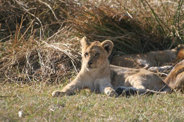 exploringafrica lions  cub safariadv moremi botswana romina facchi tanzania