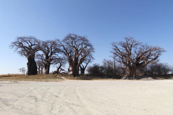 botswana nxai pan baobab exploringafrica safariadv romina facchi