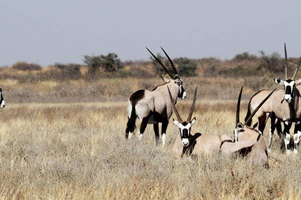 central kalahari ckgr gemsbok botswana exploringafrica safariadv romina facchi desert