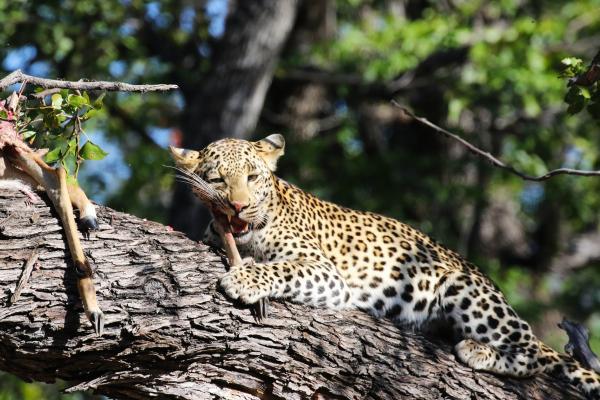 moremi leopard exploringafrica safariadv romina facchi botswana safari