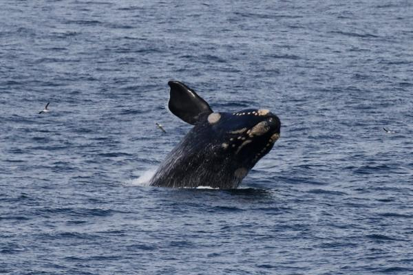hermanus southafrica whale exploringafrica safariadv romina facchi
