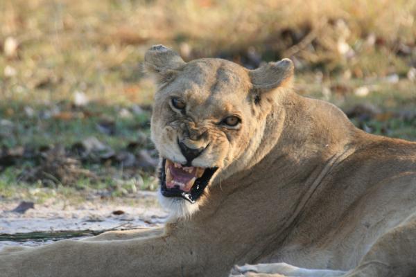 angry lion leonessa moremi game reserve delta okavango botswana