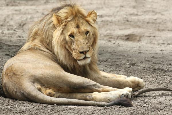 exploringafrica safriadv romina facchi travel lion safari