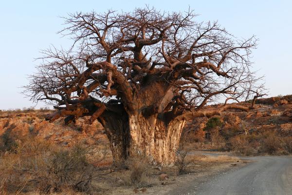 south africa sudafrica exploringafrica safariadv kruger lion safari travel