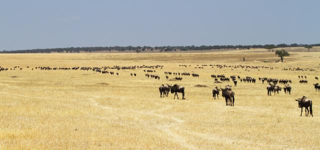 The Great Migration in north of Serengeti National Park