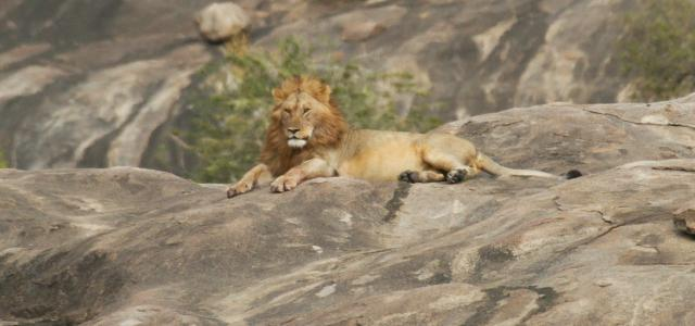 Serengeti National Park: male lion laying on a kopjes