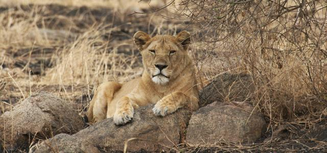 Serengeti National Park: lion laying on a kopjes