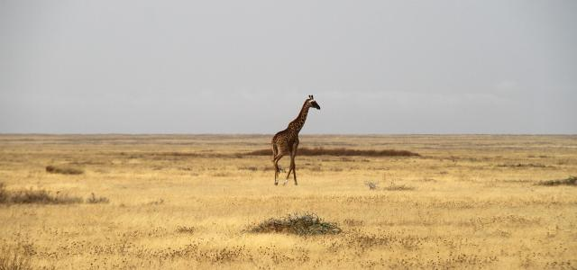 Serengeti National Park: lonely giraffe walking trough the endless plains of Kusini