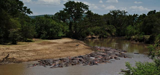 Serengeti National Park: Grumeti River with thousands of hippos