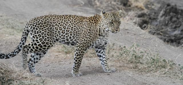 Serengeti National Park: Leopard in Seronera Valley