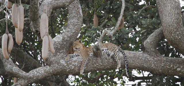 Serengeti National Park: Leopard in Seronera Valley
