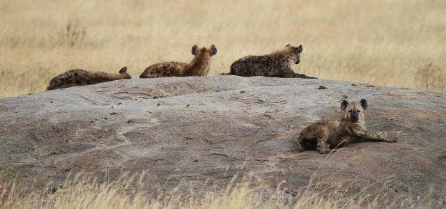 Serengeti National Park: Hyenas at Maasai Kopjes