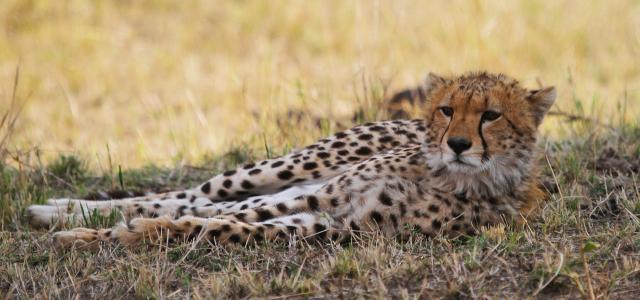 Northern Serengeti: cheetah in the shadow