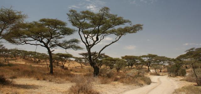 Serengeti National Park: driving trough acacia trees