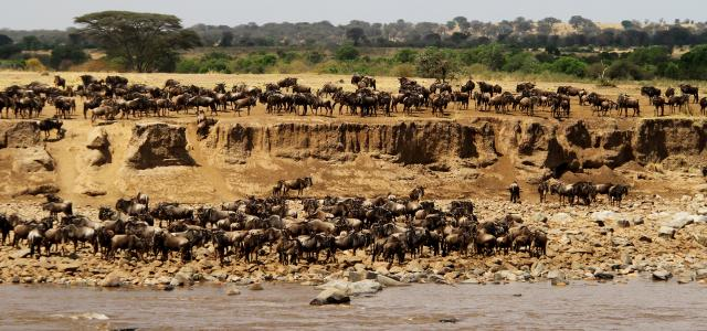 Serengeti National Park: Mara river crossing by thousands of wildebeest