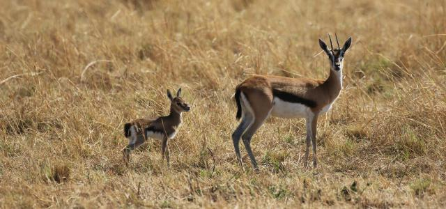 Serengeti National Park: Thomson gazelle, mother and baby
