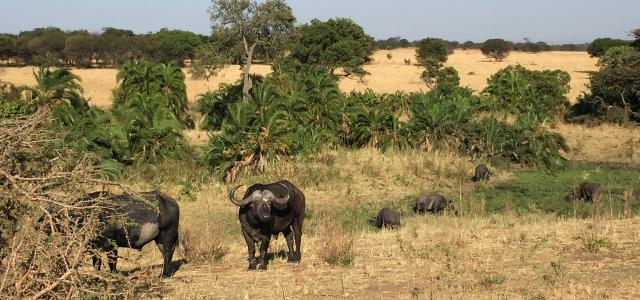 Serengeti National Park: Buffalos