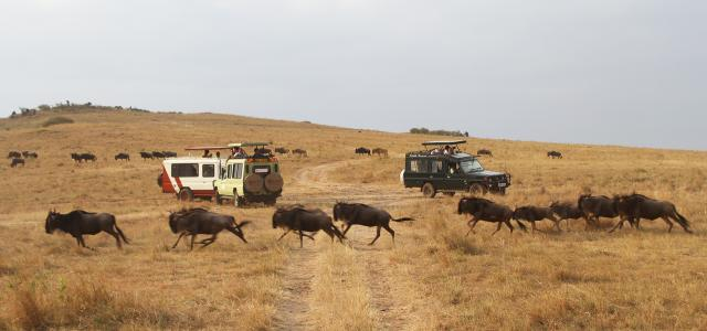 gnu and great migration in Masai Mara National Reserve