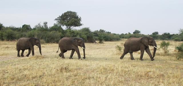 elephants walking in Masai Mara National Reserve