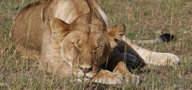masai mara exploringafrica savannah romina facchi safariadv lion great migration