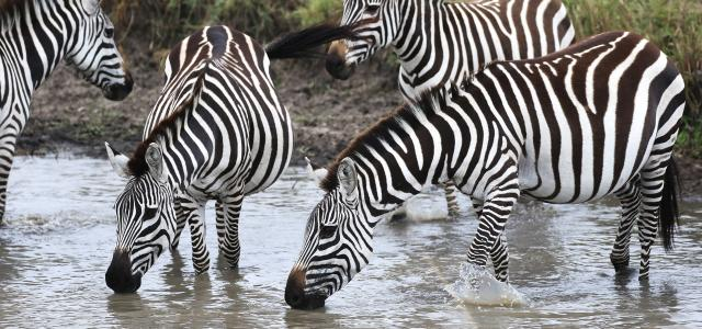 masai mara exploringafrica savannah romina facchi safariadv zebras great migration zebre river