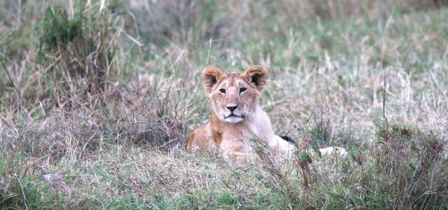 masai mara exploringafrica savannah romina facchi safariadv Olare Motorogi Conservancy lion