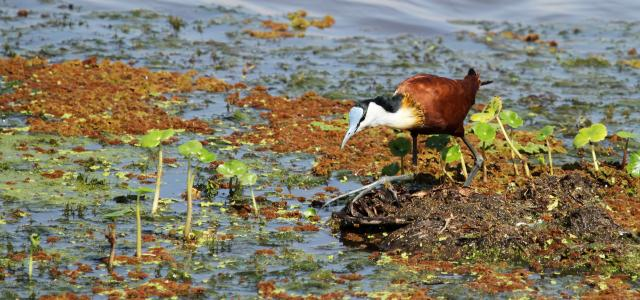 an african jacana hunt in Amboseli National Park