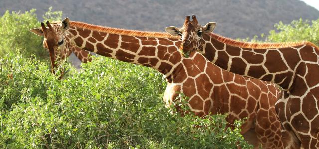 Samburu National Reserve amazing reticulated giraffes
