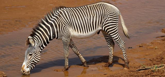 Samburu National Reserve where you can find the grevy zebra