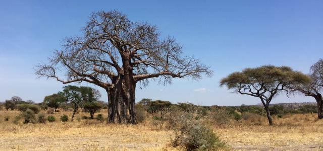 Tarangire National Park: majestic baobab adansonia digitata