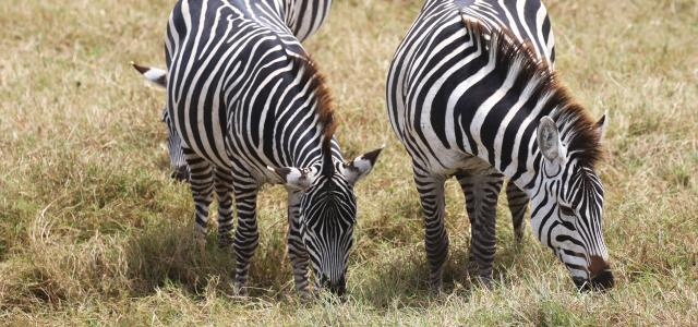 zebras eating in Ngorongoro Conservation Area
