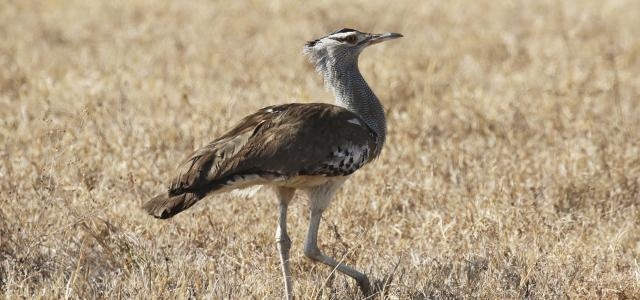 a kori bustard strolling around in Ngorongoro Conservation Area