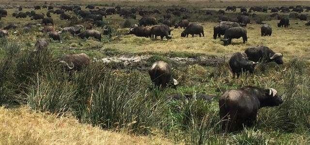 buffalo inNgorongoro Conservation Area
