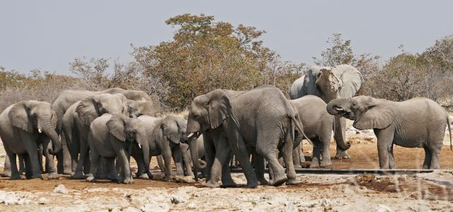 elephants roaming in Etosha National Park