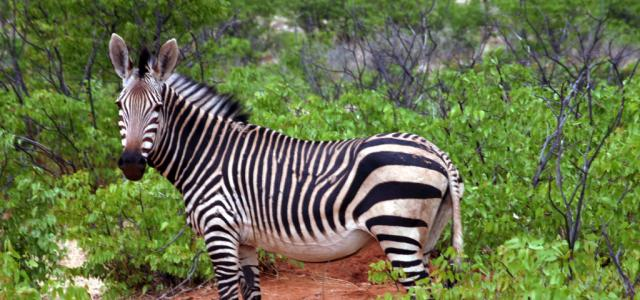 the Etosha National Park is the home of mountain zebra namibia africa