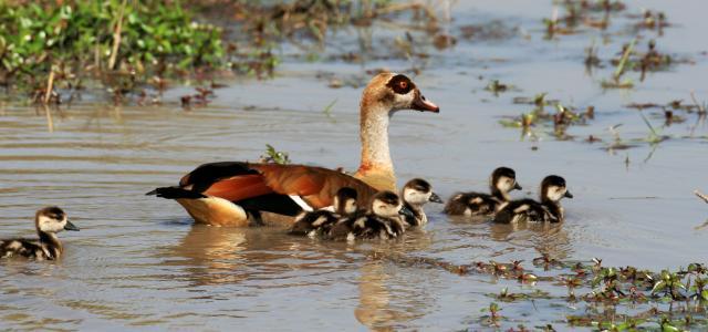 okawango delta exploringafrica safariadv romina facchi travel viaggi Egyptian goose
