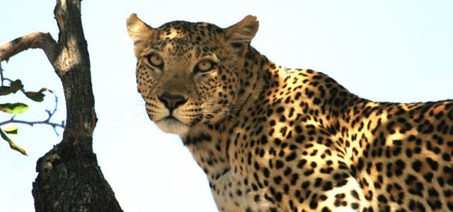 botswana safari leopard moremi africa africa safariadv exploringafrica romina facchi travel viaggi