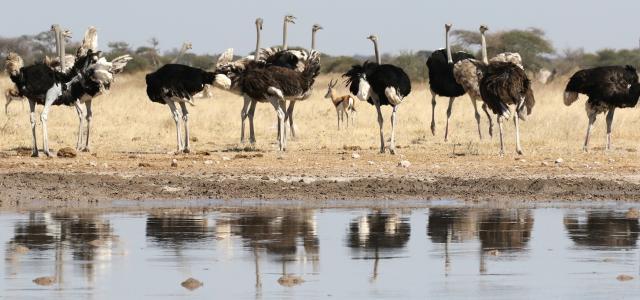 botswana safari nxai pan ostrich bird africa safariadv exploringafrica romina facchi
